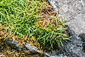 Carex firma in La Jaysinia (1).jpg