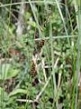 Carex lasiocarpa Oulu, Finland 12.06.2013.jpg