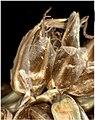 Carex paniculata inflorescens (46).jpg