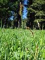 Carex raynoldsii (7509923770).jpg