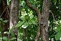 Careya arborea (Wild guava) in Narsapur forest, AP W IMG 0152.jpg