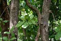 Careya arborea (Wild guava) in Narsapur forest, AP W IMG 0152