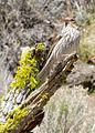 Cassins finch female 1 wray (7189929485).jpg