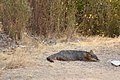 Catalina Island Fox (Urocyon littoralis catalinae) sleeping.jpg