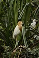 Cattle egret (Bubulcus ibis) from Ranganathittu Bird Sanctuary JEG4303.JPG