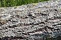 Cavités dans des bûches de peuplier blanc (48).JPG