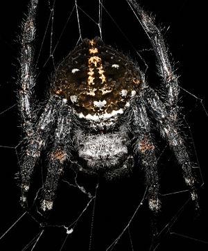 Darwin's bark spider - Image: Cdarwini
