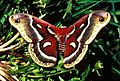 Cecropia moth with wings expanded.jpg