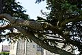Cedar bough at east face of Parham House, West Sussex, England.jpg