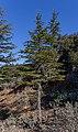 Cedrus brevifolia in Mt Tripylos, Troodos Mountains, Cyprus 02.jpg
