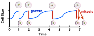 Cell growth - Figure 1:Cell cycle and growth