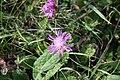 Centaurea scabiosa in natural monument Sysli louky u Lodenice in 2011 (3).JPG