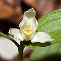 Cephalanthera.damasonium.8246.jpg