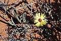 Cephalophyllum pillansii (Aizoaceae) (37500127571).jpg
