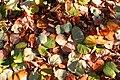Cercidiphyllum japonicum JPG1Fub.jpg