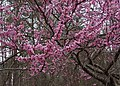 Cercis canadensis redbud flowers branches.jpg
