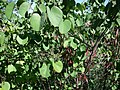 Cercis occidentalis, California.jpg
