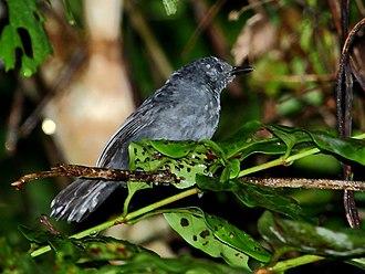 Blackish antbird - male at Apiacás, Mato Grosso state, Brazil