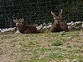 Cerf cochon du zoo de Lunaret (2380416936).jpg