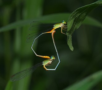 "Damselfly - Second stage: ""heart"" or ""wheel"" position, the female receiving sperm from the male secondary sex organ"