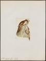 Certhia nepalensis - 1820-1860 - Print - Iconographia Zoologica - Special Collections University of Amsterdam - UBA01 IZ19200365.tif