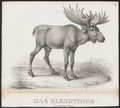 Cervus alces - 1700-1880 - Print - Iconographia Zoologica - Special Collections University of Amsterdam - UBA01 IZ21500112.tif