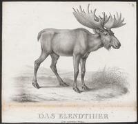 Cervus alces - 1700-1880 - Print - Iconographia Zoologica - Special Collections University of Amsterdam - UBA01 IZ21500112.tif
