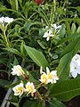 Chafa Flowers.jpg