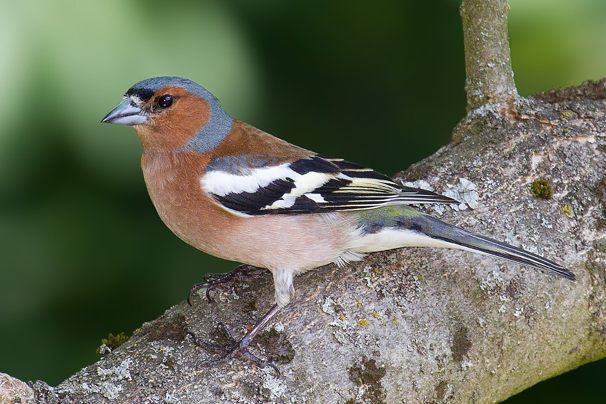 Common chaffinch wikipedia for Oiseaux des jardins