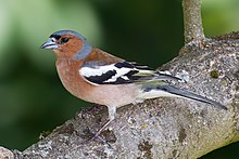 Chaffinch photo by Andreas Trepte, CC-BY-SA