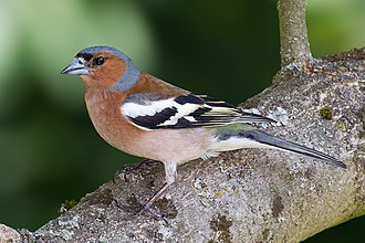Common chaffinch - Male in Hessen, Germany