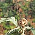 Chalcolestes viridis - Andricus coriarius 20150714b.jpg