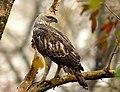 Changeable Hawk Eagle AMSM1040Changeable Hawk Eagle.jpg