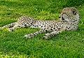 Cheetah (Acinonyx jubatus) captive male ... (50099350208).jpg