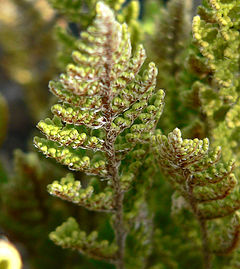 Cheilanthes fendleri 2.jpg