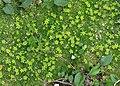 Cherleria sedoides 2 RF.jpg