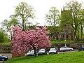 Cherry blossom, Well Bank - geograph.org.uk - 1846991.jpg