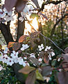Cherry blossom (6867523876).jpg