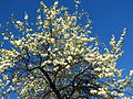 Cherry blossom (Cerasus) 13.JPG