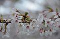 Cherry blossom 2011 (5640996365).jpg