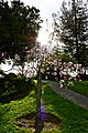 Cherry blossom at Japanese Friendship Garden in San Jose.jpg
