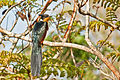 Chestnut-winged Cuckoo or Red-winged Crested Cuckoo.jpg