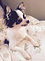 Chihuahua mimi.jpg