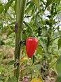 Chili pepper fruit on a plant.jpg