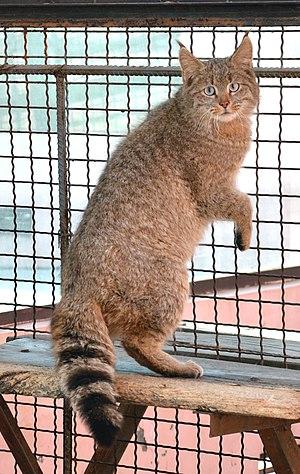 Chinese mountain cat - Chinese mountain cat in Xining Zoo