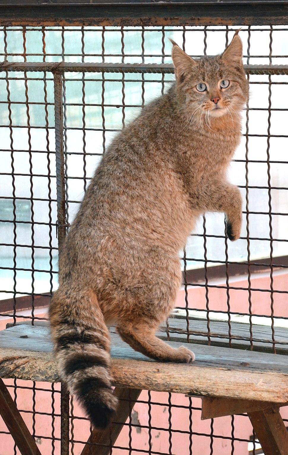 Chinese Mountain Cat (Felis Bieti) in XiNing Wild Zoo