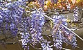 Chinese wisteria in bloom.jpg