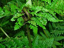 Chirosia betuleti, on Dryopteris dilitata, forming a Knotting gall.jpg