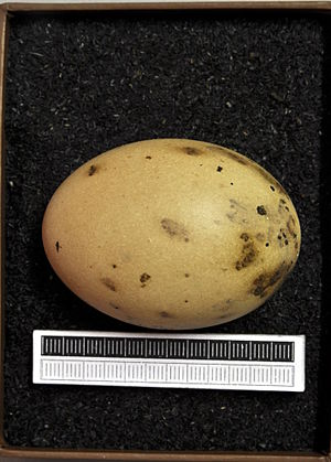Houbara bustard - Egg, Collection Museum Wiesbaden