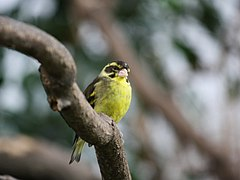 Carduelis spinoides